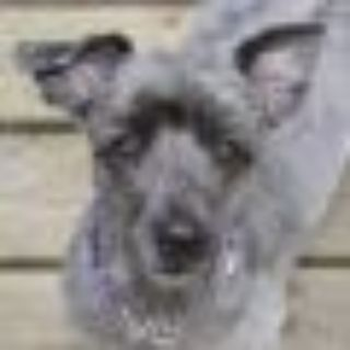 Gidget (great w/dogs, cats, kids) Schnauzer - Poodle Dog