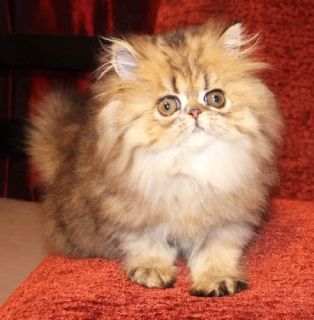 Golden Tabby Persian Female Kitten - CFA Reg