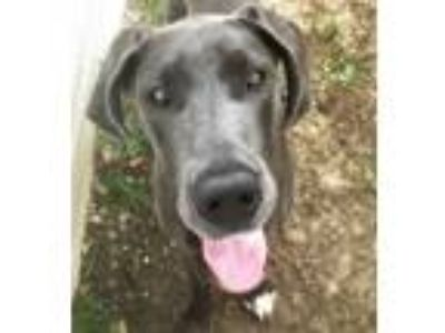 Adopt Luna a Great Dane
