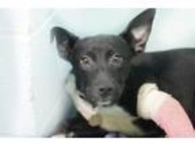 Adopt Venus a Black Pit Bull Terrier / Border Collie / Mixed dog in Mountain
