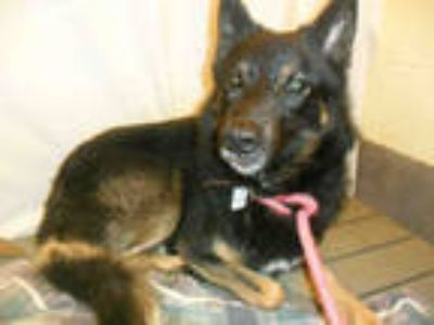 Adopt MAX a Black - with Brown, Red, Golden, Orange or Chestnut German Shepherd