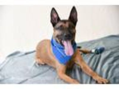 Adopt Rudy a Belgian Shepherd / Malinois, German Shepherd Dog