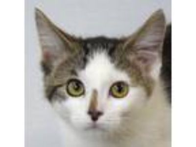 Adopt Charley a Brown Tabby Domestic Shorthair / Mixed (short coat) cat in