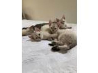 Adopt LILAC SIAMESE MIX KITTENS a Gray, Blue or Silver Tabby Siamese / Mixed cat