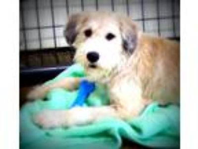 Adopt Zane a Tan/Yellow/Fawn Schnauzer (Giant) / Labrador Retriever / Mixed dog