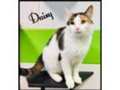Adopt Daisy a White Domestic Shorthair / Domestic Shorthair / Mixed cat in