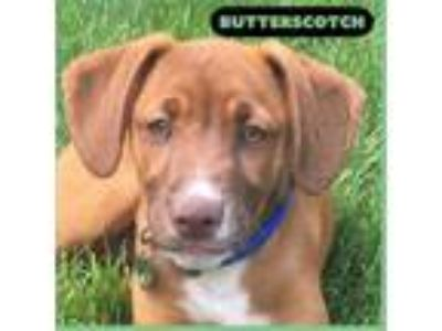 Adopt Butterscotch a Labrador Retriever, Hound