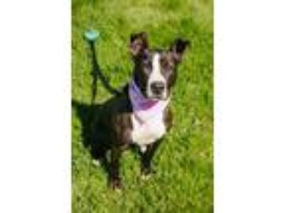 Adopt Lily a Black American Pit Bull Terrier / Mixed dog in Syracuse