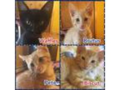 Adopt Brutus, Pete, Waffles or Biscuit a Domestic Short Hair
