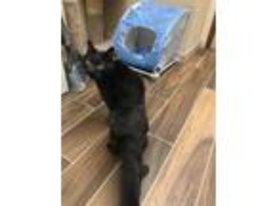 Adopt Mookie a All Black Domestic Shorthair / Domestic Shorthair / Mixed cat in