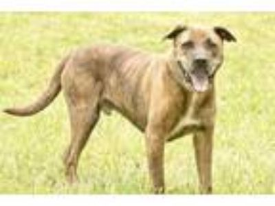 Adopt Fella a Red/Golden/Orange/Chestnut Mastiff / Mixed dog in Cashiers