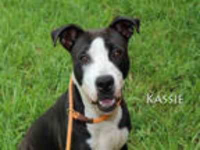 Adopt KASSIE a Black - with White American Pit Bull Terrier / Mixed dog in Fort