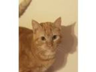 Adopt Shyla a Orange or Red Tabby Domestic Shorthair / Mixed cat in Beaumont