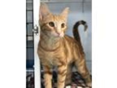 Adopt Yarrow a Orange or Red Domestic Shorthair / Mixed (medium coat) cat in