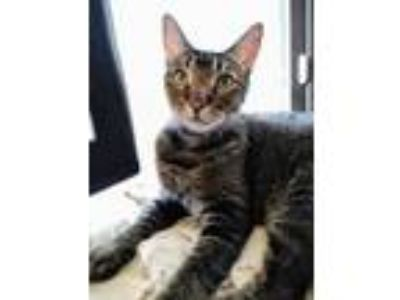 Adopt Toby a Abyssinian, Tabby