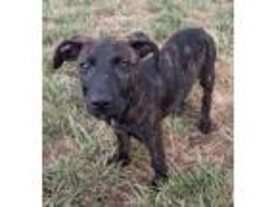 Adopt Uncle Sam a Labrador Retriever, German Shepherd Dog
