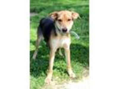 Adopt Nala a Black - with Tan, Yellow or Fawn Beagle / Mixed dog in Waldorf