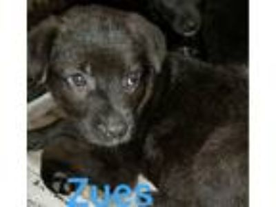 Adopt Zues a Black Labrador Retriever / German Shepherd Dog / Mixed dog in