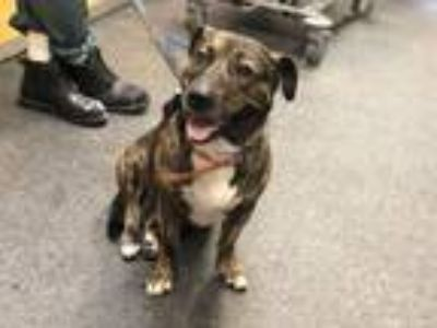 Adopt TIGER a Pit Bull Terrier, Mixed Breed