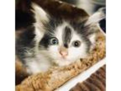 Adopt GIZMO a White (Mostly) Domestic Mediumhair / Mixed (medium coat) cat in