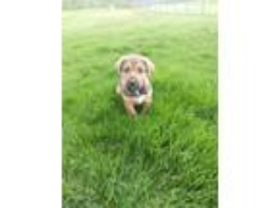 Adopt Bruno a German Shepherd Dog, Chow Chow