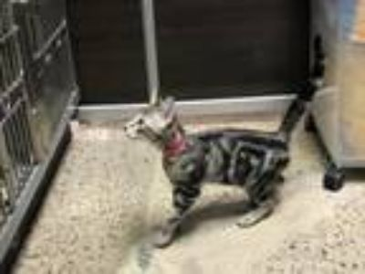 Adopt SPROUT a Domestic Short Hair