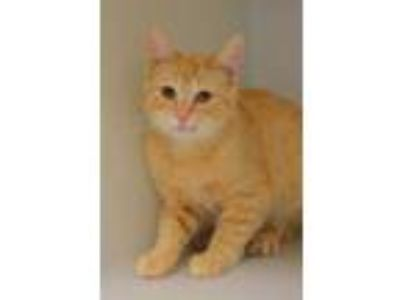 Adopt BUTTERS a Orange or Red Tabby Domestic Shorthair / Mixed (short coat) cat