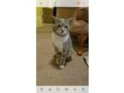 Adopt Loki a Gray or Blue (Mostly) Domestic Shorthair / Mixed cat in