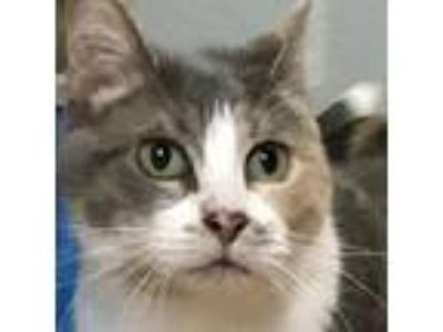 Adopt Purrsilla a Calico or Dilute Calico Domestic Shorthair / Mixed cat in