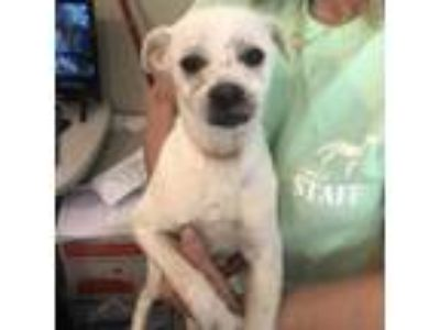 Adopt Marley a White - with Tan, Yellow or Fawn Pug dog in Starkville