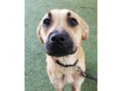 Adopt Holland a Tan/Yellow/Fawn Shepherd (Unknown Type) / Mixed dog in