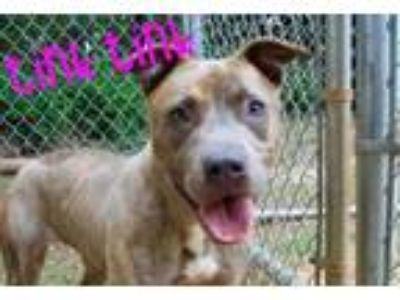 Adopt TinkTink a Gray/Blue/Silver/Salt & Pepper American Pit Bull Terrier /