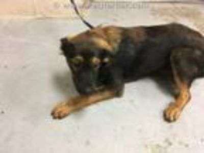 Adopt A319831 a German Shepherd Dog, Mixed Breed