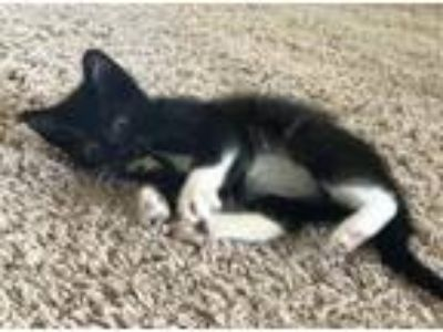 Adopt Clark Gable a Black & White or Tuxedo Domestic Shorthair / Mixed cat in