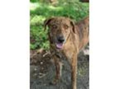 Adopt Baileys a Brindle Mountain Cur / Plott Hound / Mixed dog in Key Biscayne
