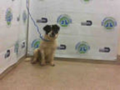 Adopt CONGO a White - with Black Border Collie / Mixed dog in Doral