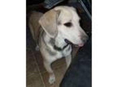 Adopt Teddy a Tan/Yellow/Fawn Labrador Retriever / Mixed dog in Grayson