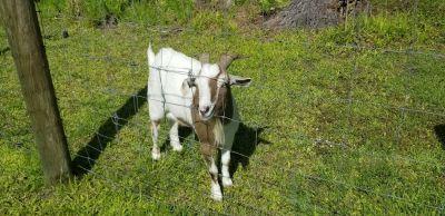 Free male goat