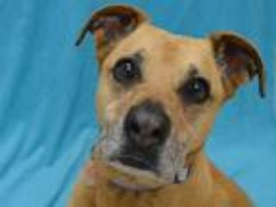 Adopt Chelsea a Boxer / Shepherd (Unknown Type) / Mixed dog in Portland