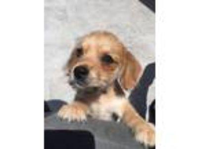 Adopt Maverick a Tan/Yellow/Fawn - with White Cairn Terrier / Dachshund / Mixed