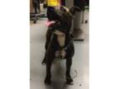 Adopt *CHICLE a Brindle - with White Mixed Breed (Medium) / Mixed dog in Ocala