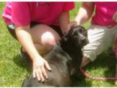 Adopt Serenity a Black - with White Labrador Retriever / Mixed dog in