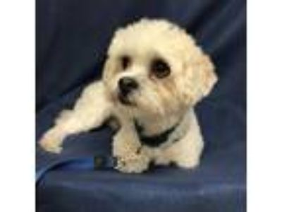 Adopt Loki a Tan/Yellow/Fawn Shih Tzu / Poodle (Miniature) / Mixed dog in Tampa