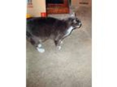 Adopt Lacey a Gray or Blue American Shorthair (medium coat) cat in Hicksville