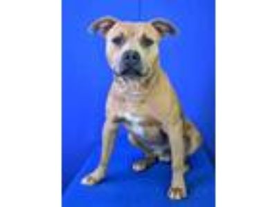 Adopt (found) Mel a Red/Golden/Orange/Chestnut American Pit Bull Terrier / Mixed