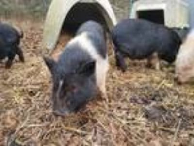 Adopt Meeny a Pig (Potbellied) farm-type animal in Hubert, NC (21597915)