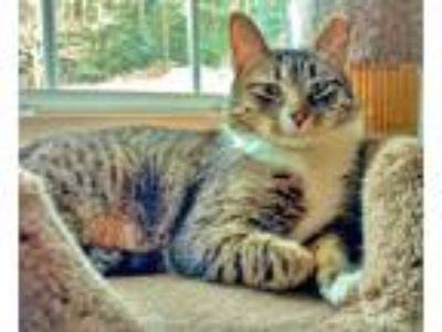 Adopt Fallow a Domestic Short Hair