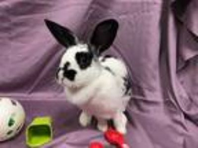 Adopt Bella a White Dwarf / Mixed rabbit in Woburn, MA (25653611)