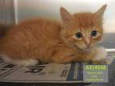 Adopt JOEY a Orange or Red Tabby Domestic Shorthair / Mixed (short coat) cat in