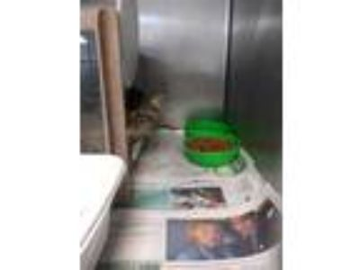 Adopt 41770142 a All Black Domestic Longhair / Domestic Shorthair / Mixed cat in